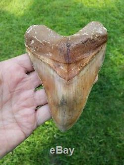 High end 5.6 Indonesian MEGALODON with great colors Fossil Shark teeth