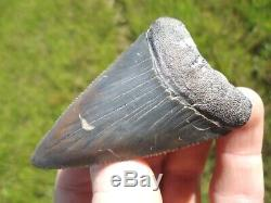 Huge 2.5+ Great White Shark Tooth Florida Fossils Sharks Teeth Megalodon Mako @