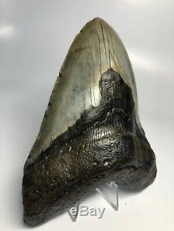 Huge 5.95 Big Megalodon Fossil Shark Tooth Rare Real 3523
