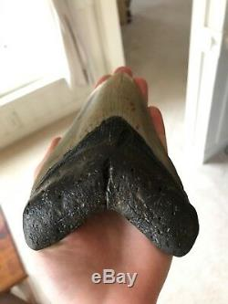 Huge 6 Inch Megalodon Shark Tooth Fossil Near Perfect Coloration
