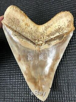 Huge 6 Indonesian MEGALODON Fossil Shark Teeth, awesome REAL tooth