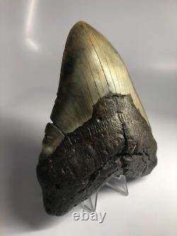 Huge Wide 6.02 Megalodon Fossil Shark Tooth Real Massive 1553