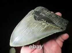 IMPRESSIVE 6 Inch MEGALODON SHARK Tooth Fossil MIOCENE MONSTER SIX SERRATED