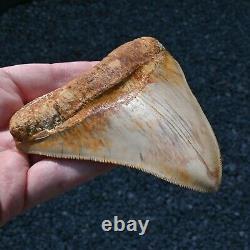 INDONESIAN 4.76 Megalodon sharktooth fossil Java GOOD ROOT no resto