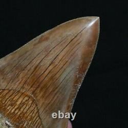 INDONESIAN 4.8 Megalodon sharktooth fossil Java with amazing RED coloration