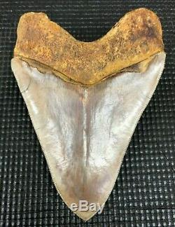 Investment grade 5.67 Indonesian MEGALODON Fossil Shark Teeth, REAL tooth