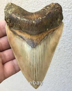 Killer Top 1% 5 Megalodon Shark Tooth Fossil Monster Larger Than Dinosaurs