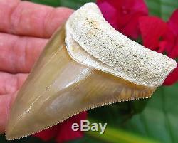 Large 3 Needle Tip Bone Valley Megalodon Tooth Florida fossil Shark teeth gem