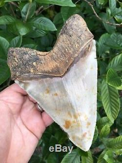 MEGALODON 6.49 Pathological Fossil Shark Tooth (ALL NATURAL NO RESTORATION)