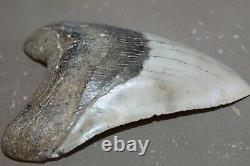 MEGALODON Fossil Giant Shark Teeth All Natural Large 5.85 HUGE BEAUTIFUL TOOTH