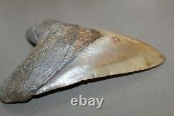 MEGALODON Fossil Giant Shark Teeth All Natural Large 5.97 HUGE BEAUTIFUL TOOTH