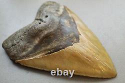 MEGALODON Fossil Giant Shark Teeth Natural Large 5.76 HUGE COMMERCIAL GRADE
