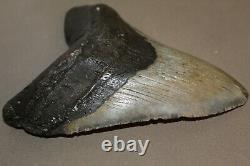 MEGALODON Fossil Giant Shark Teeth Natural Large 5.85 HUGE BEAUTIFUL TOOTH
