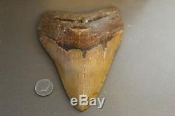 MEGALODON Fossil Giant Shark Teeth Ocean No Repair 6.00 HUGE COMMERCIAL GRADE