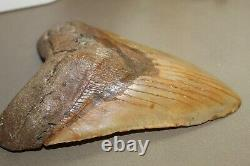 MEGALODON Fossil Giant Shark Teeth Ocean No Repair 6.45 HUGE BEAUTIFUL TOOTH