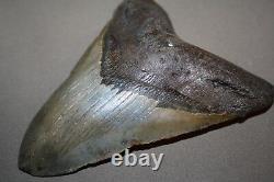MEGALODON Fossil Giant Sharks Teeth Ocean No Repair 5.01 HUGE BEAUTIFUL TOOTH