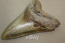 MEGALODON Fossil Giant Sharks Teeth Ocean No Repair 5.19 HUGE BEAUTIFUL TOOTH
