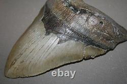 MEGALODON Fossil Giant Sharks Teeth Ocean No Repair 5.94 HUGE BEAUTIFUL TOOTH
