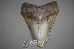 MEGALODON Fossil Giant Sharks Teeth Ocean No Repair 6.20 HUGE BEAUTIFUL TOOTH