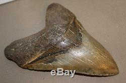 MEGALODON Fossil Giant Sharks Teeth Ocean No Repair 6.31 HUGE BEAUTIFUL TOOTH