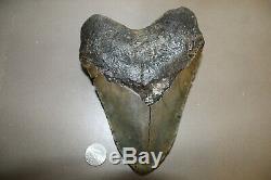 MEGALODON Fossil Giant Sharks Teeth Ocean No Repair 6.65 HUGE BEAUTIFUL TOOTH