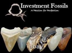 MEGALODON SHARK TOOTH 3 & 11/16 in. TOP 1% REAL FOSSIL SUPER SERRATED