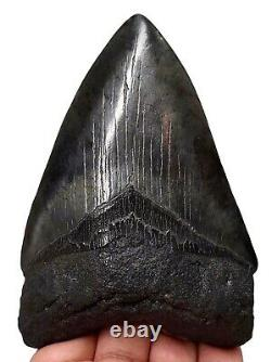 MEGALODON SHARK TOOTH 4.08 inch REAL FOSSIL NO RESTORATION SERRATED