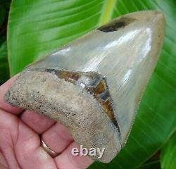 MEGALODON SHARK TOOTH 4 & 1/4 in. REAL FOSSIL SERRATED NO RESTORATIONS