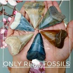 MEGALODON SHARK TOOTH 4.25 inch REAL FOSSIL NO RESTORATIONS SERRATED