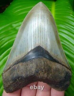 MEGALODON SHARK TOOTH OVER 4 & 7/8 in. WORLD CLASS QUALITY MUSEUM GRADE