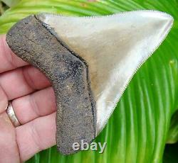 MEGALODON SHARK TOOTH TOP 1% 3.85 in. REAL FOSSIL NO RESTORATIONS