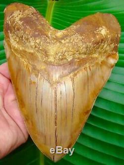 MONSTER 6.85 in. Megalodon Shark Tooth BEST of the BEST INDONEDIAN