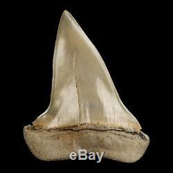 Mako Shark Tooth Fossil from Lee Creek Aurora, Megalodon era Finest Quality