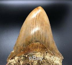 Massive 6.03 Indonesian MEGALODON Fossil Shark Teeth, awesome REAL tooth