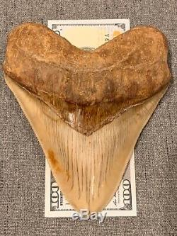 Massive 6.2 Chilean Megalodon Shark Tooth Fossil 1lb 4oz, Investment Grade Rare