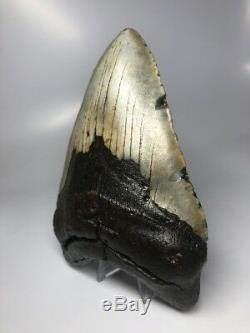 Massive 6.36 Huge Megalodon Fossil Shark Tooth Rare Real 1879