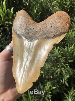 Massive Beautiful Color 6.07 Megalodon Tooth Fossil Shark Teeth 100% Natural