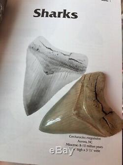 Megalodon 4.875 Meg Fossil Shark Tooth Lee Creek
