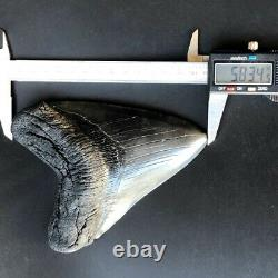 Megalodon Fossil Shark Tooth 5.83 QUALITY GIANT! No Restoration Teeth t32