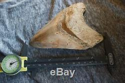 Megalodon Fossil Shark Tooth Upper Anterior X-large & heavy 5 11/16 = 14,5 cm