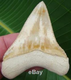 Megalodon Shark Tooth 2 & 3/4 GOLDEN YELLOW ULTRA RARE BONE VALLEY