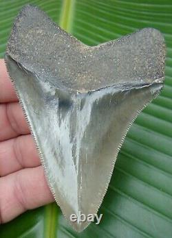 Megalodon Shark Tooth 3 & 7/8 in. MUSEUM GRADE REAL NO RESTORATIONS