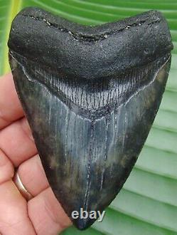 Megalodon Shark Tooth 3.80 in. REAL FOSSIL UPPER ANTERIOR NO RESTORATIONS