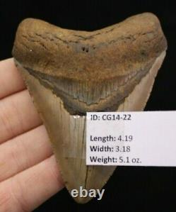 Megalodon Shark Tooth 4.19 Extinct Fossil Authentic NOT RESTORED (CG14-22)