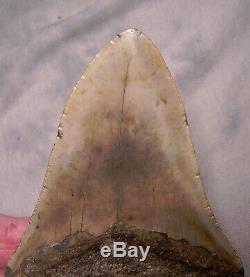 Megalodon Shark Tooth 4 3/4 Shark Teeth Fossil Megalodon No Repair Or Resto