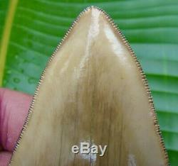 Megalodon Shark Tooth 4 & 3/8 in. SERRATED INDONESIAN NO RESTORATION