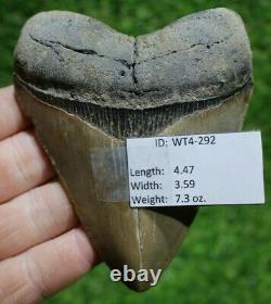 Megalodon Shark Tooth 4.47 Extinct Fossil Authentic NOT RESTORED (WT4-292)