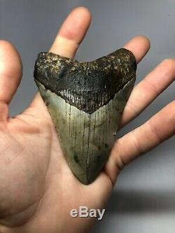 Megalodon Shark Tooth 4.65 Amazing Real Fossil Rare 4093