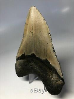 Megalodon Shark Tooth 4.83 Beautiful Real Fossil No Restoration 4064
