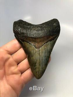 Megalodon Shark Tooth 4.87 Amazing Real Fossil No Restoration 4545